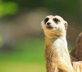 Meerkat — Stock Photo