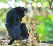 Gibbon on the tree branch — Stock Photo