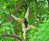 Gibbon on the tree branch — Stock fotografie