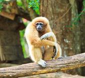 Gibbon auf dem ast — Stockfoto