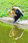 Gibbons near the water — Stock Photo