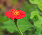 Red Zinnia flower — Stock Photo