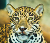 Jaguar in Central America — Stock Photo