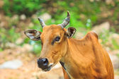 Banteng, red bull in rainforest — Stock Photo