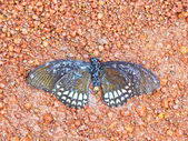 Dead butterfly in national park — Stock Photo