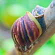 Snail on the branch — Stock Photo #37696397