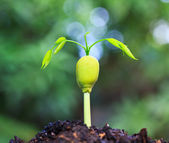 Plant growing from seed — Stockfoto