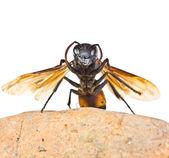 Closeup wasp — Stockfoto