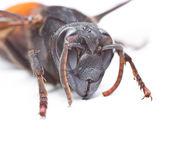 Wasp yakın çekim — Stok fotoğraf