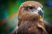 Closeup Black Kite — Stock Photo