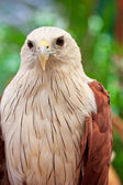 Close up Brahminy Kite — Foto Stock