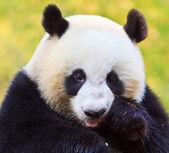 Panda — Foto Stock