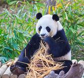 Panda — Foto de Stock