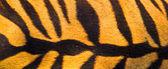 Beautiful tiger fur texture — Stock Photo