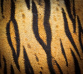 Beautiful tiger fur texture — Foto Stock
