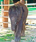 Bebé elefante — Foto de Stock