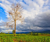Dead tree in the field — Stockfoto