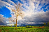 Dead tree in the field — Foto Stock