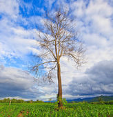 Dead tree in the field — Stock Photo