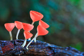 Cup mushroom or champagne mushrooms — Stockfoto
