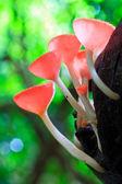 Cup mushroom or champagne mushrooms — Stock Photo