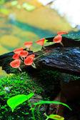 Red mushroom, — Stock Photo