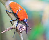 Orange beetle — Photo