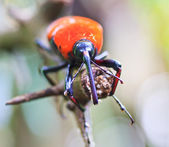 Orange beetle — Stockfoto