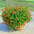 Stock Photo: Red Flowers in pots