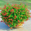 Red Flowers in pots — Stock Photo