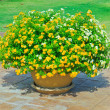 Yellow Flowers in pots — Stock Photo