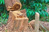 Forest deforestation — Stock Photo