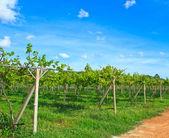 Vineyards Grape farm — Stock Photo