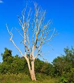 Martwych drzew — Zdjęcie stockowe