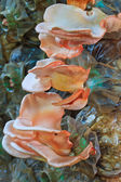 Pink oyster mushrooms — Stock Photo