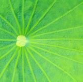 Lotus leaf texture — Stock Photo