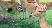 Antilope — Stockfoto