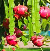 Dragon fruit — Stock Photo
