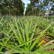 Stock Photo: Pineapple under rows of rubber tree