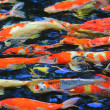 Stock Photo: Koi fish