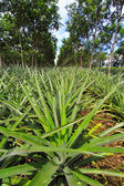 Pineapple under rows of rubber tree — Stock Photo