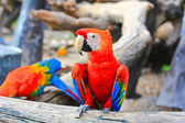 Colorful macaw — Stock Photo