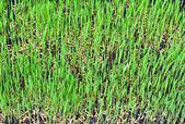 Paddy rice — Stock Photo