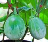 Aubergine or eggplant — Stock Photo