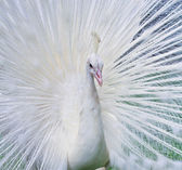 White Peacock — Stock Photo