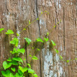 Foto Stock: Green Vine