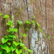 Green Vine — Stock fotografie