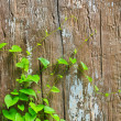 Green Vine — Stock Photo