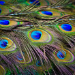 Peacock feathers — Stock Photo #38815907
