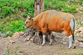 Banteng or Red Bull — Stock Photo